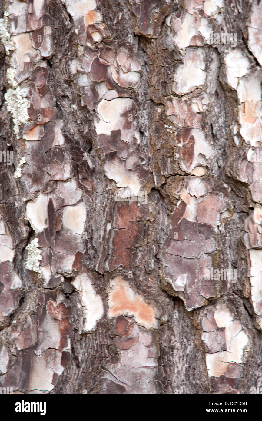 Close up of Pine Tree Bark Andalucia Spain - Stock Image