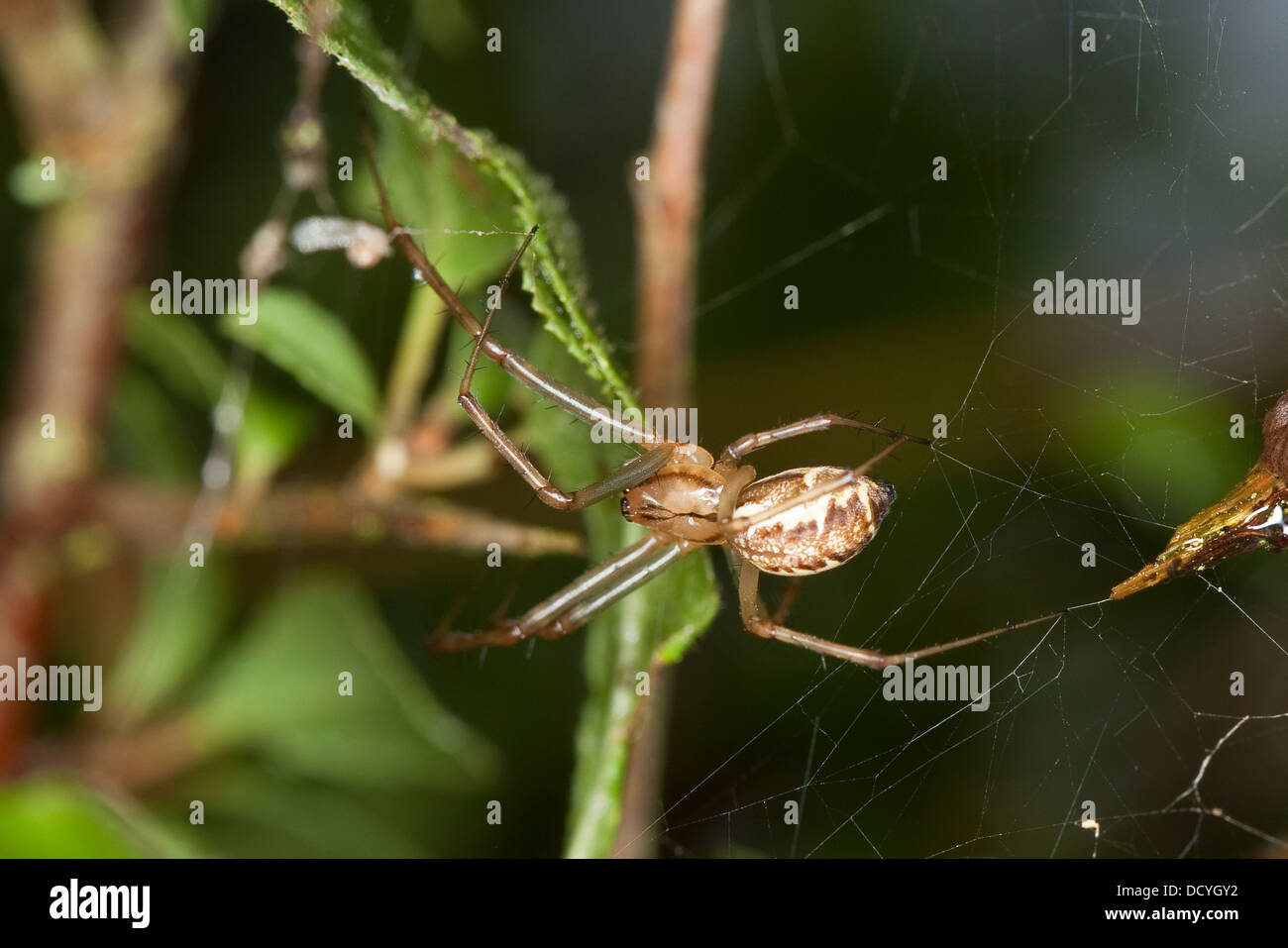 sheet-web spider, Money Spider, sheet-web weaver, line-weaving spider, line weaver, Baldachinspinne, Linyphia triangularis - Stock Image