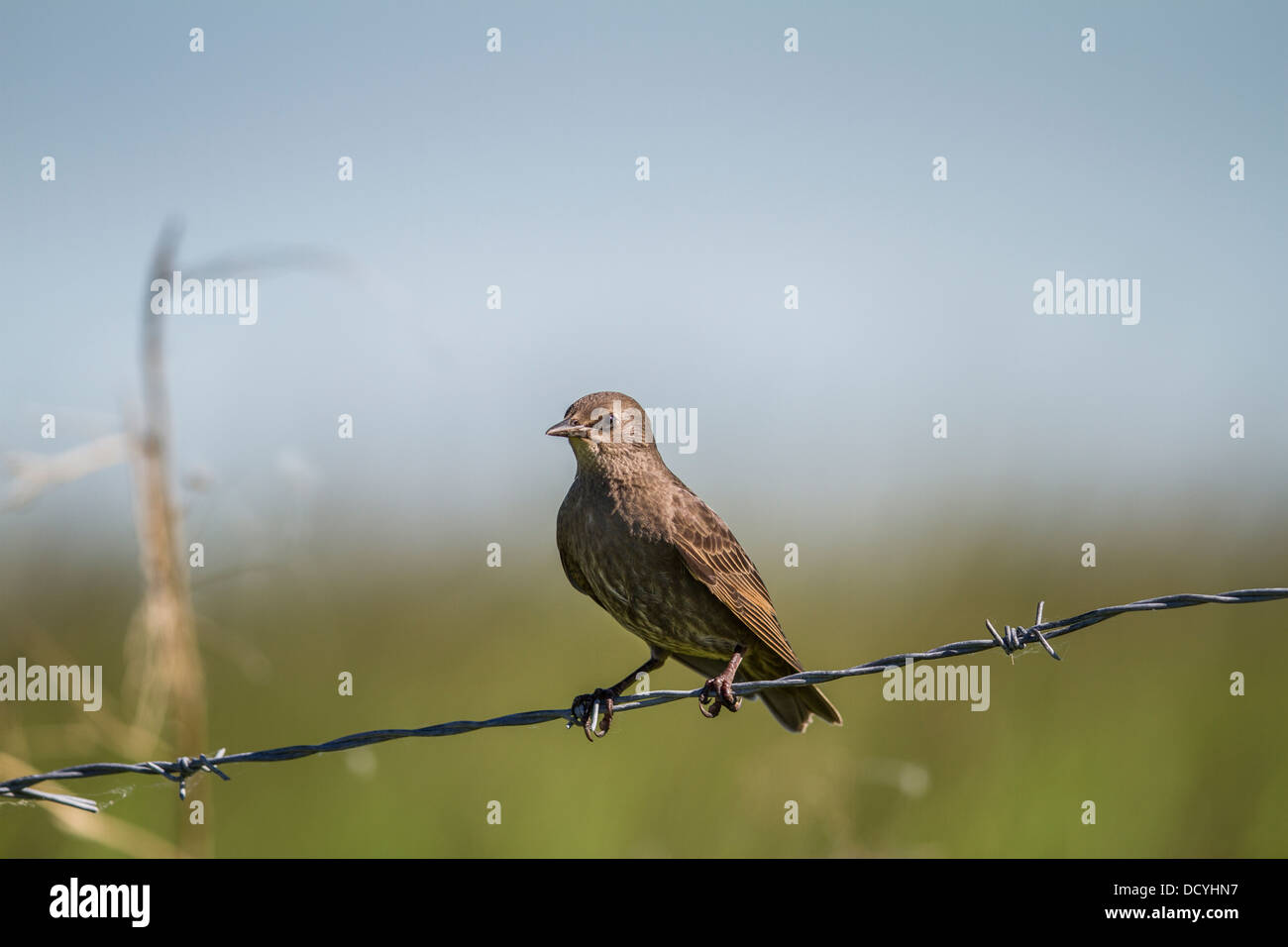 Juvenile European Starling (Sturnus vulgaris) Sitting on barbed wire fence. Rural Alberta, Canada Stock Photo