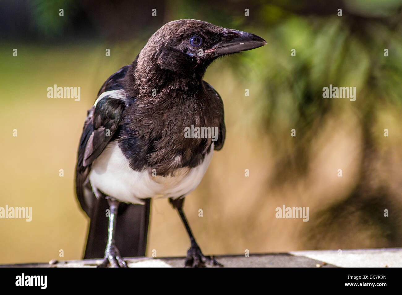 Black-billed Magpie (Pica hudsonia) Colorful, close up, portrait of magpie sitting on platform feeder. Calgary, - Stock Image
