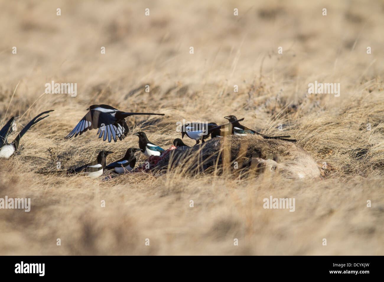 Black-billed Magpie (Pica hudsonia) Colorful group of scavenger birds, perched & landing on a deer carcass, - Stock Image