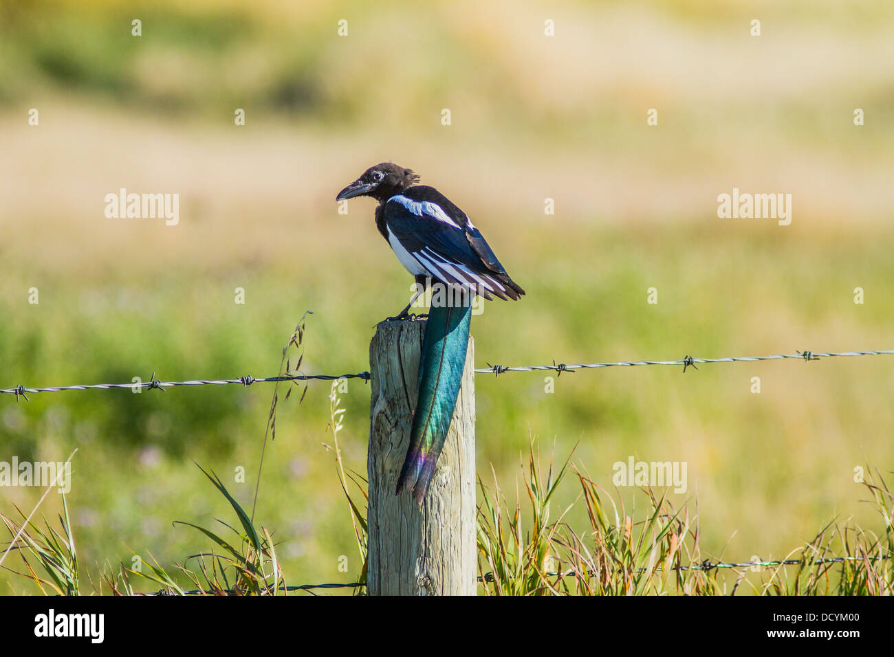 Black-billed Magpie (Pica hudsonia) Colorful, portrait of magpie, with long pretty blue tail, sitting on fence post. - Stock Image