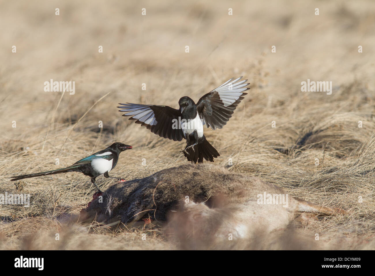 Black-billed Magpie (Pica hudsonia) Colorful pair of scavenger birds, perched & landing on a dead deer carcass, - Stock Image