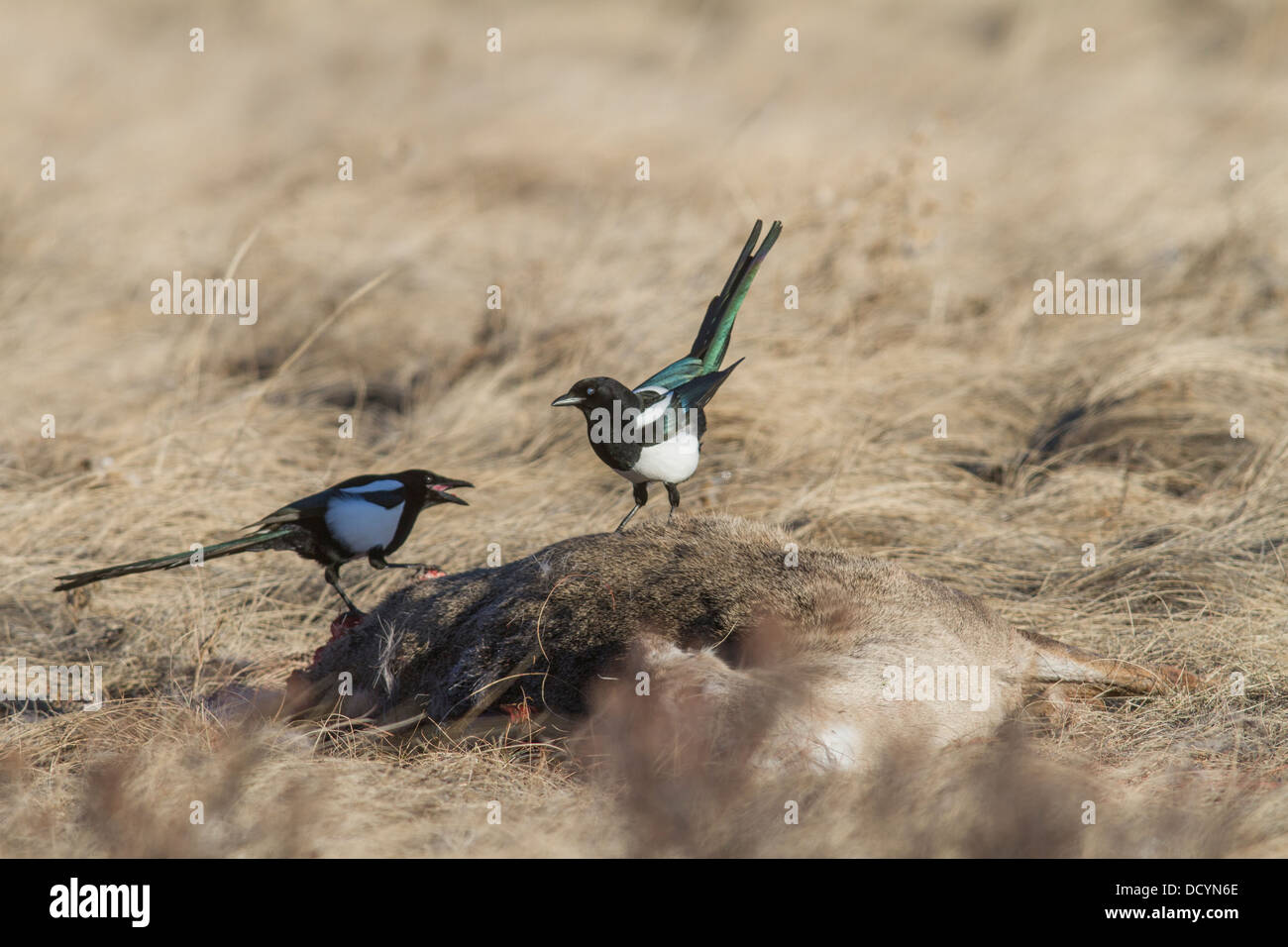 Black-billed Magpie (Pica hudsonia) Colorful pair of scavenger birds, perched & feeding on a dead deer carcass, - Stock Image