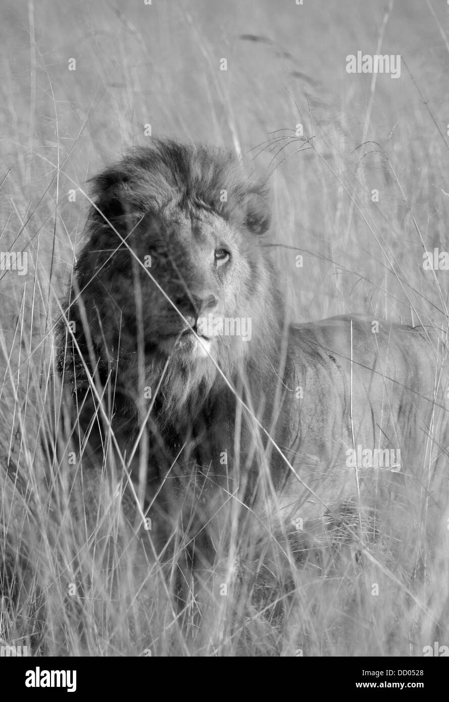 African Lion (Panthera leo) Male in long grass, Okavango Delta, Botswana, BLACK AND WHITE - Stock Image