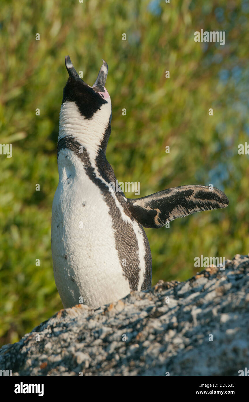 African Penguin (Spheniscus demersus) Wild, Male displaying 'ecstatic call Boulders Beach,   South Africa ENDANGERED - Stock Image