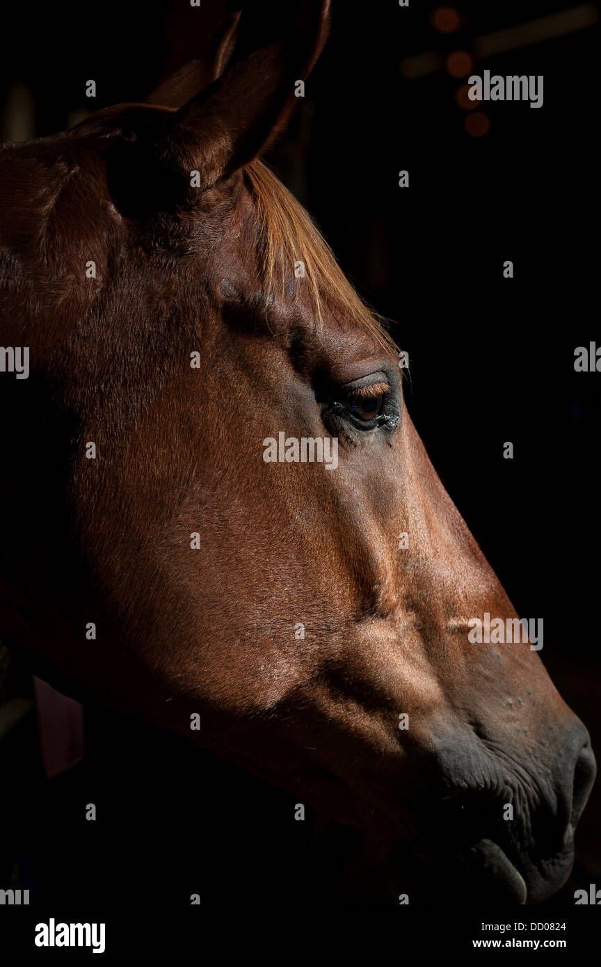 A horse rests after competing in a showmanship event at the county fair. - Stock Image