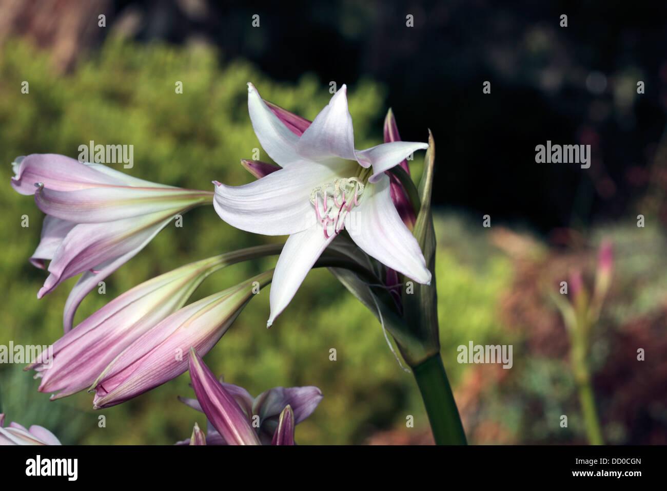 Formosan Lilyst Josephs Lilytrumpet Lilydwarf Variety Details