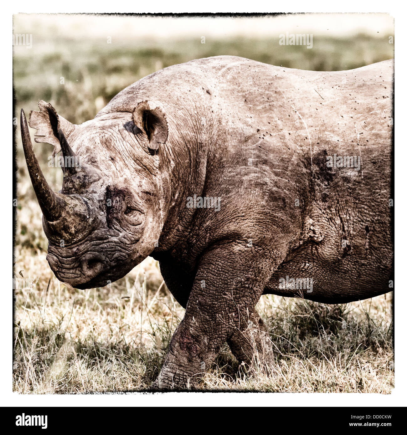 Single black rhino walking in open woodland, oblique side view detail of head and front in stylised monochrome, - Stock Image