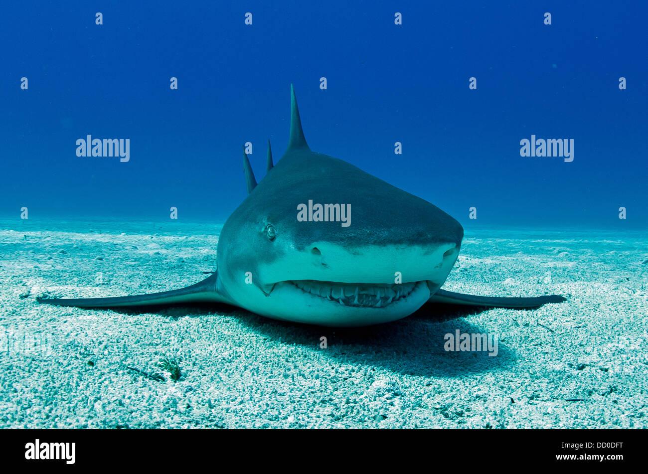 Lemon shark resting in the sand - Stock Image
