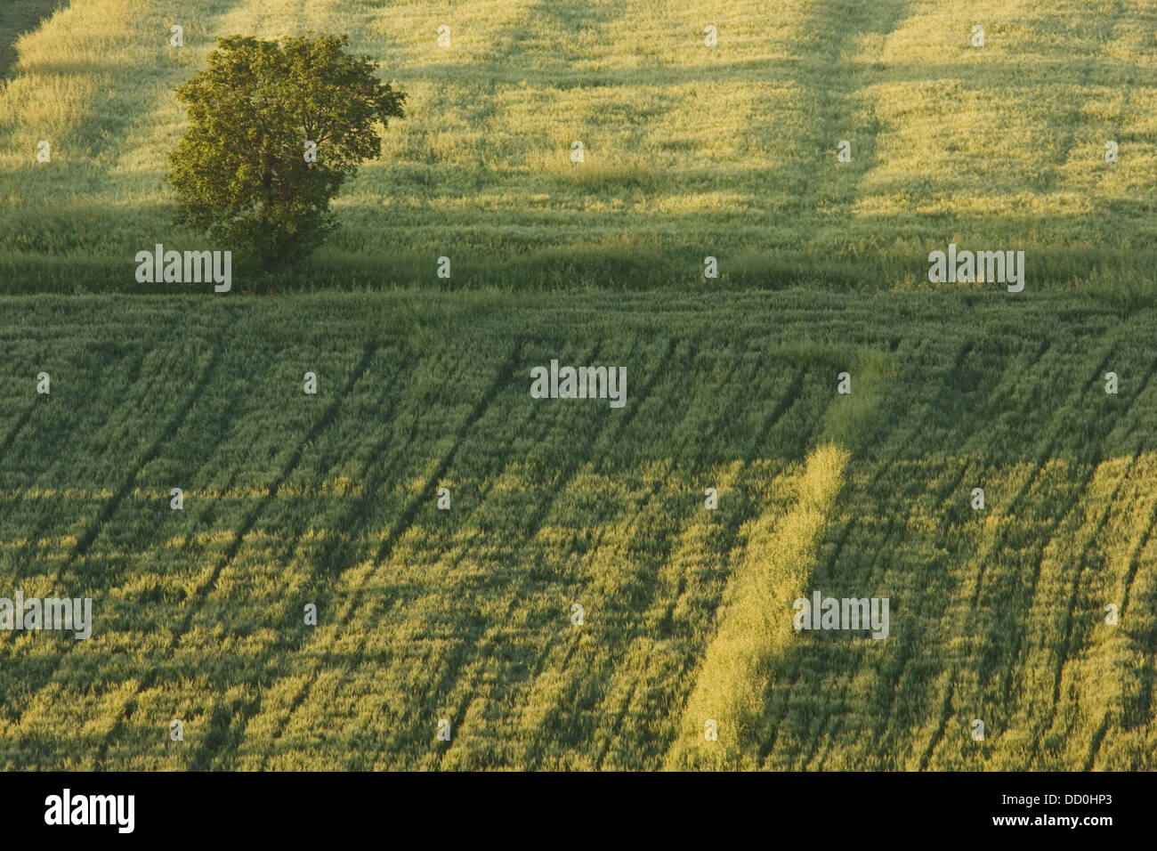 Lone tree in mowed wheat field, aerial view, early morning sunlight - Stock Image
