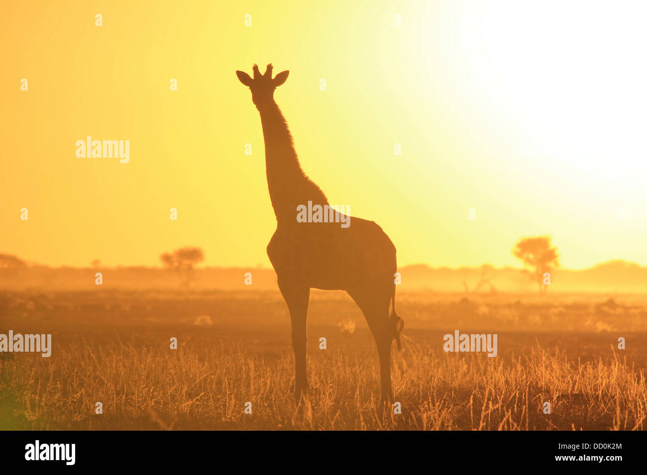 Giraffe Sunset Silhouette Background of Color and Beauty from Wild Africa Stock Photo