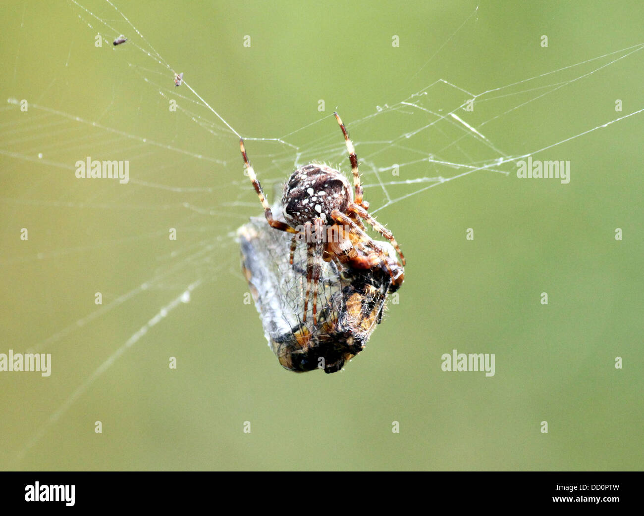Close-up of a female European garden spider (Araneus diadematus) in her web with a prey she caught - Stock Image