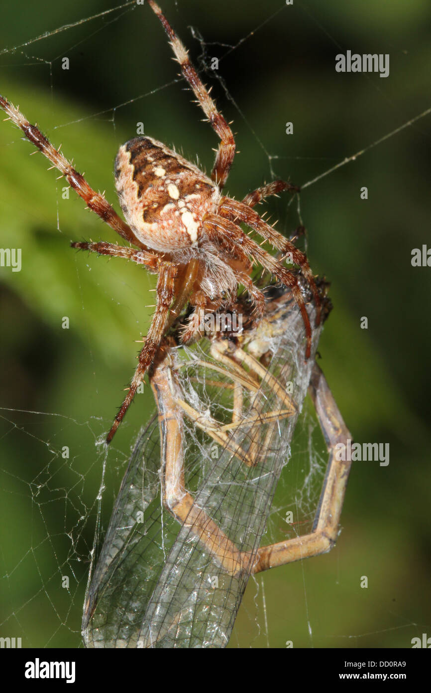 Close-up of a female European garden spider (Araneus diadematus) in her web with a prey she caught, a damselfly - Stock Image
