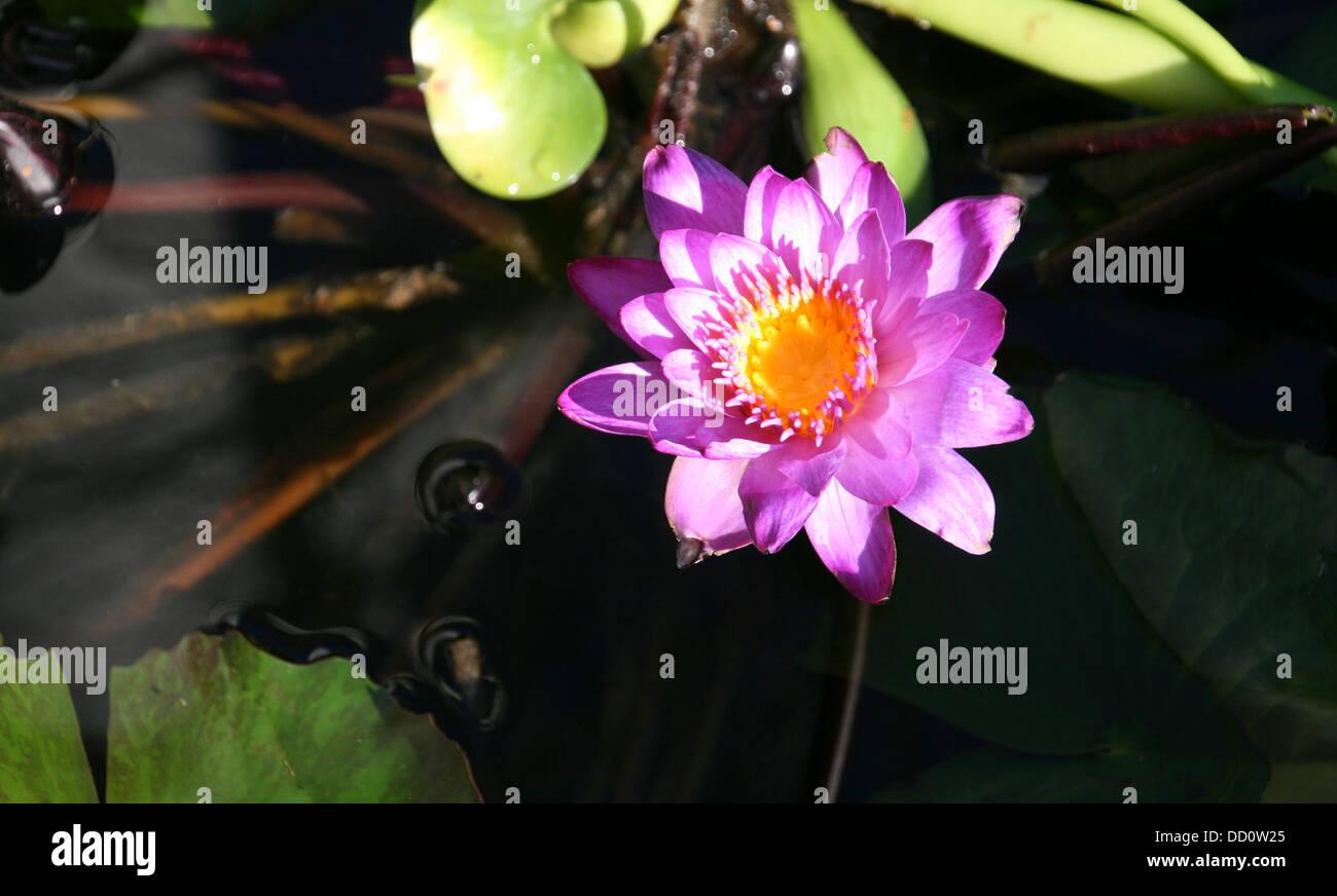 Floating Lotus Flower Stock Photos Floating Lotus Flower Stock