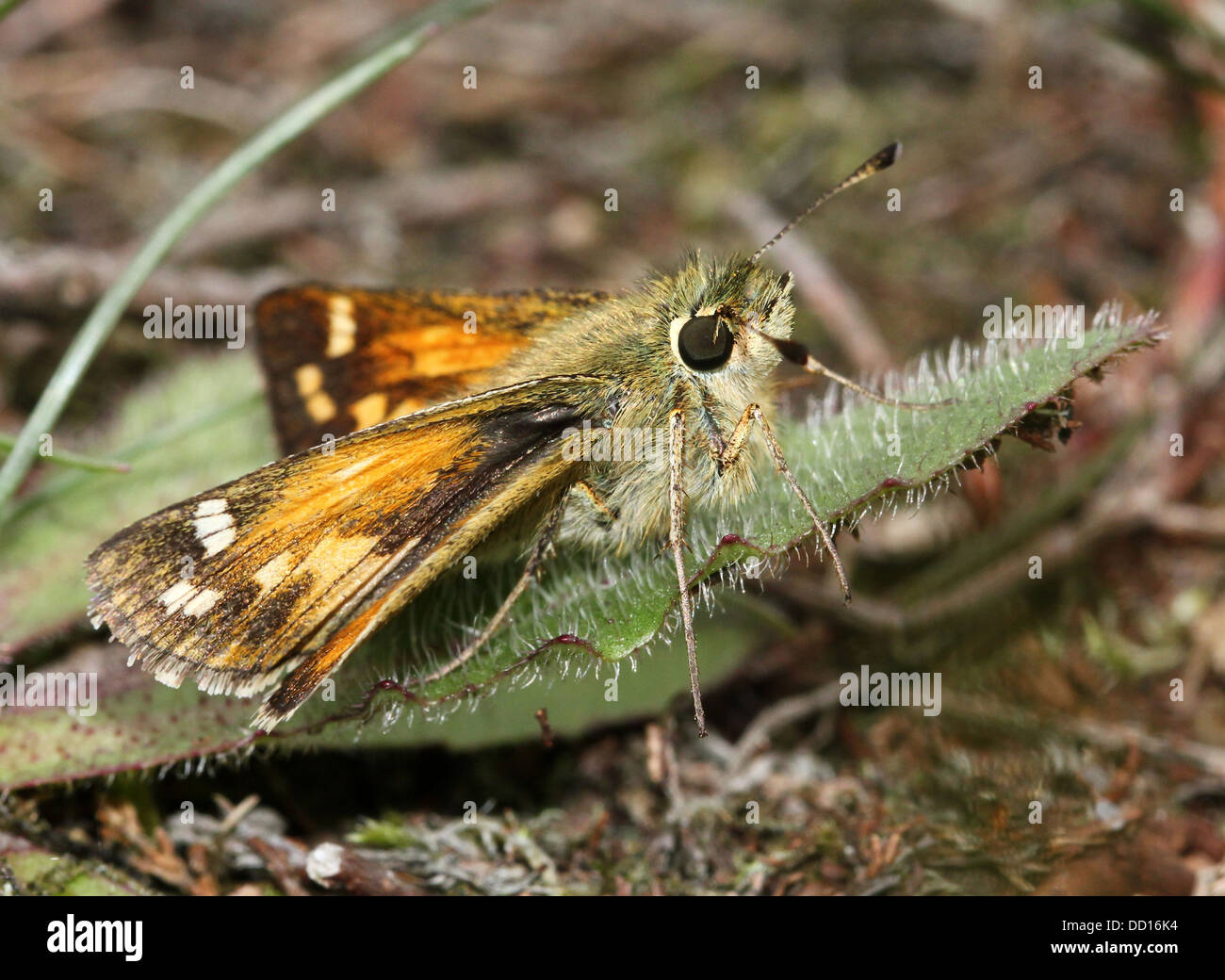 Silver-spotted or  Branded Skipper (Hesperia comma) with wings opened and closed Stock Photo
