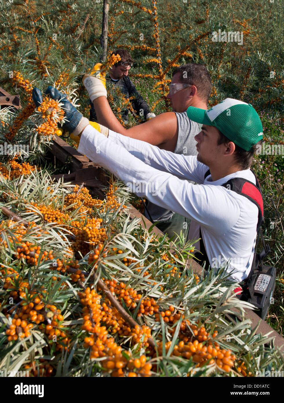 Tempelberg, Germany. 23rd Aug, 2013. Polish season workers harvest branches with ripe sea-buskthorn berries on a - Stock Image