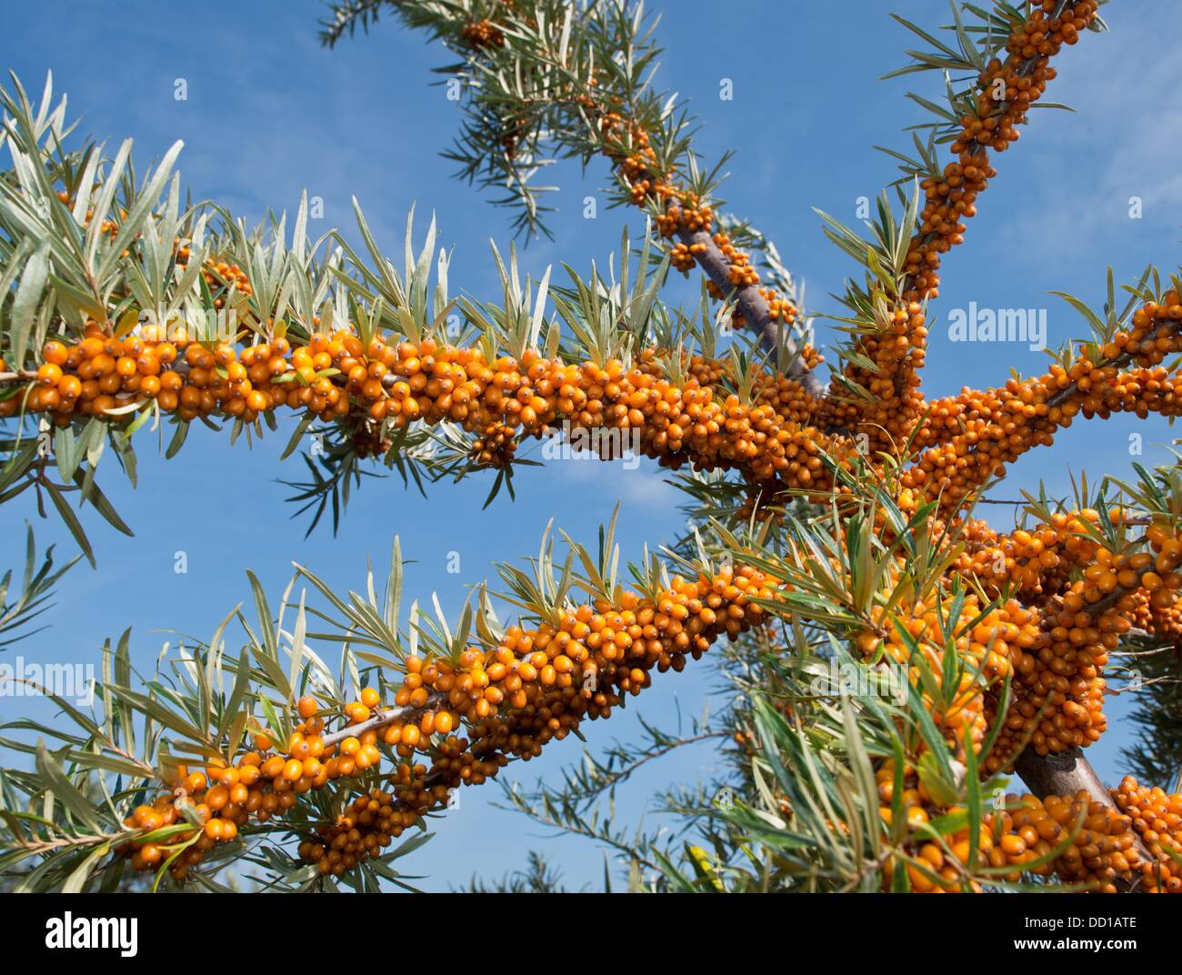 Tempelberg, Germany. 23rd Aug, 2013. The ripe sea-buskthorn berries shine on a plantation of the sea-buckthorn garden - Stock Image