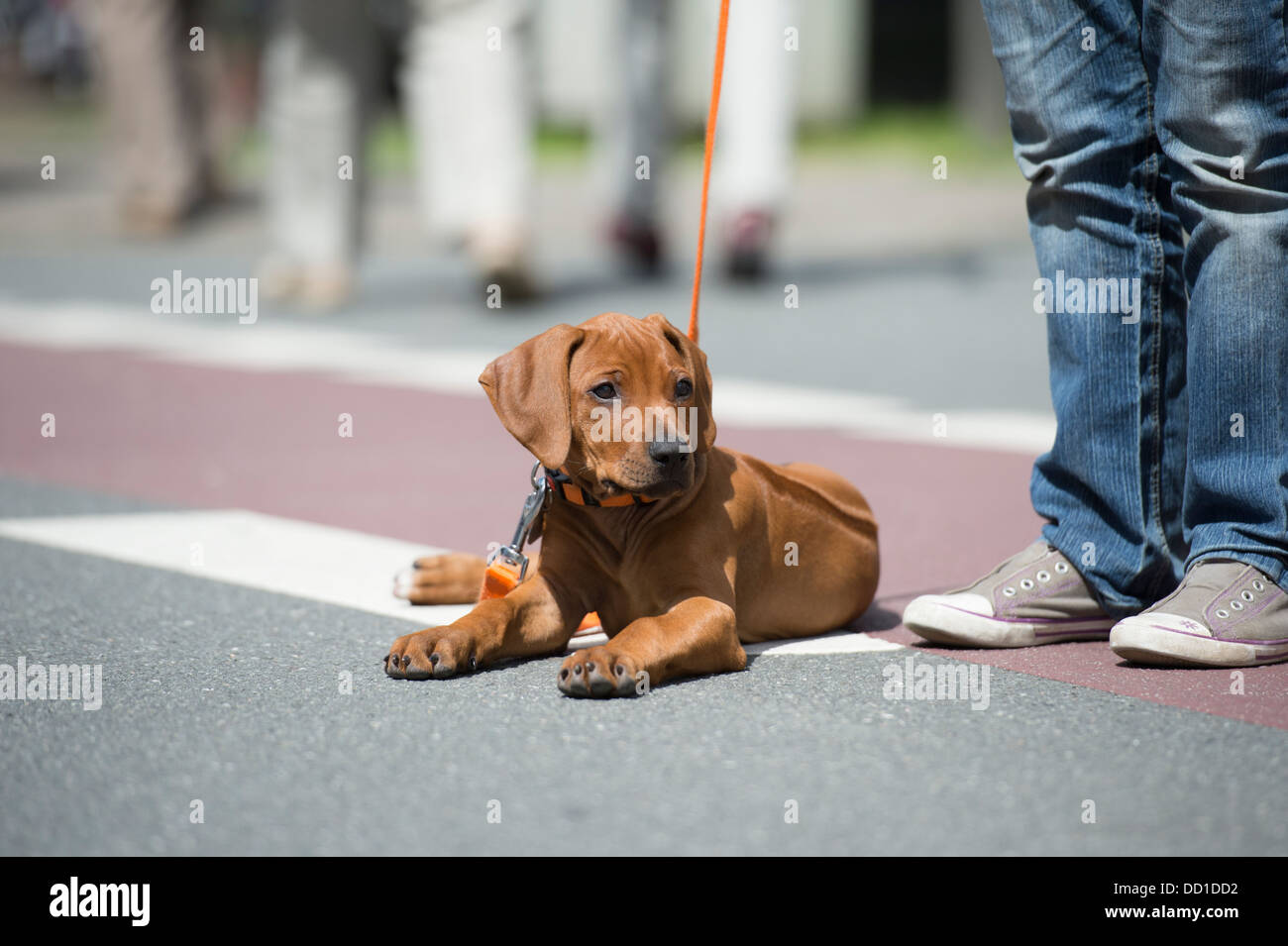 Rhodesian Ridgeback Puppy Dog Laying in Street - Stock Image