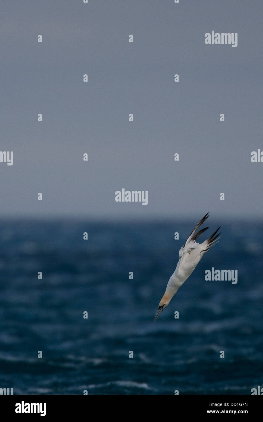 Northern gannet, flying, flight, nose-dive, nosedive, Basstölpel, Baßtölpel, Flug, Tölpel, Sula - Stock Image