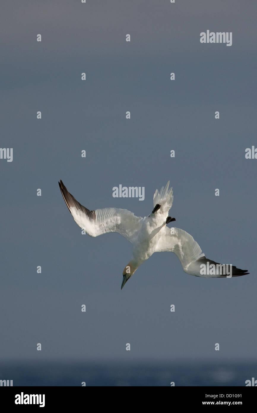 Northern gannet, flying, flight, nose-dive, nosedive, Basstölpel, Baßtölpel, Flug, Tölpel, Sula - Stock Image