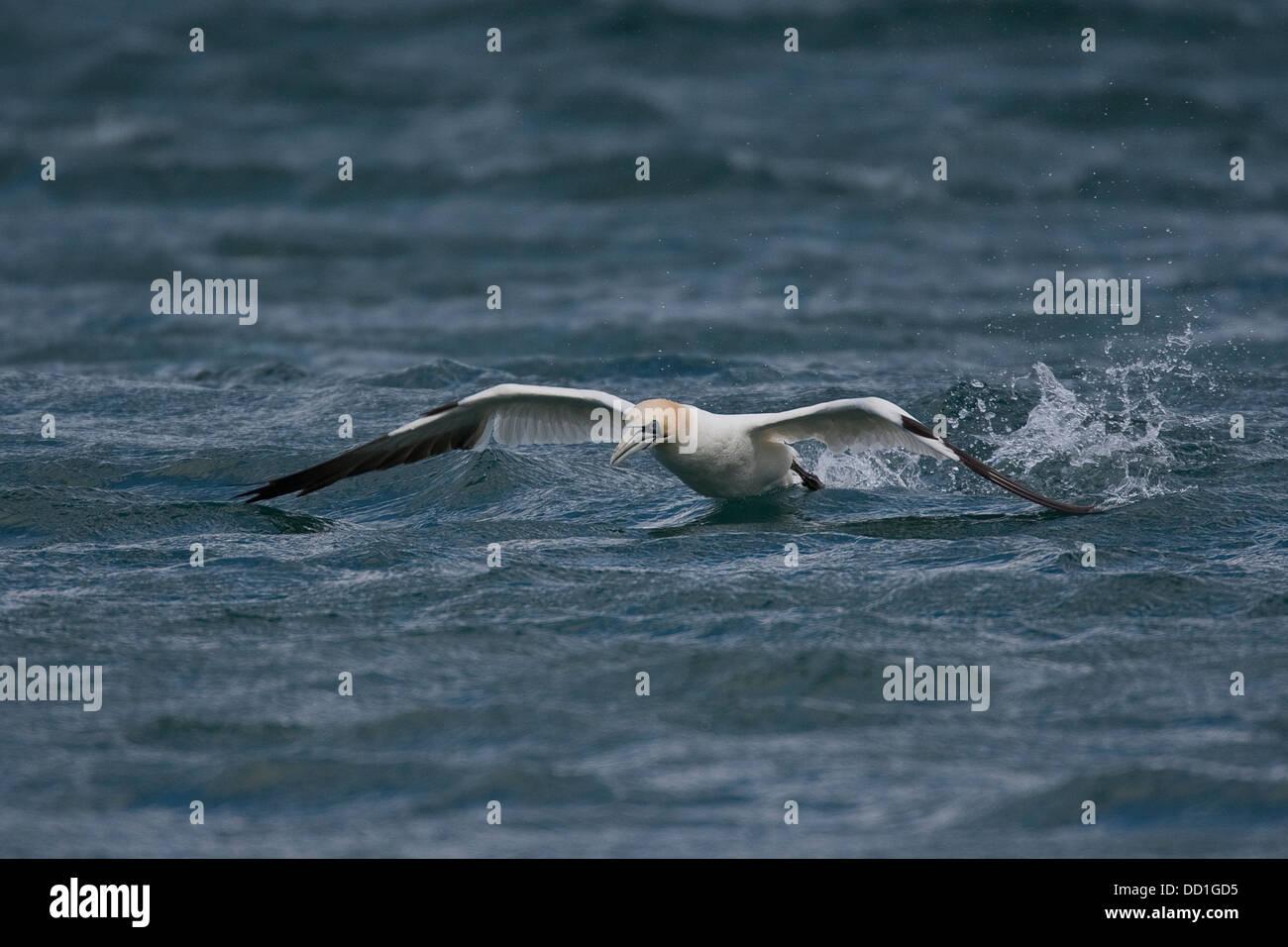 Northern gannet, cames out of water, Basstölpel, Baßtölpel, auftauchend, Tölpel, Sula bassana, - Stock Image