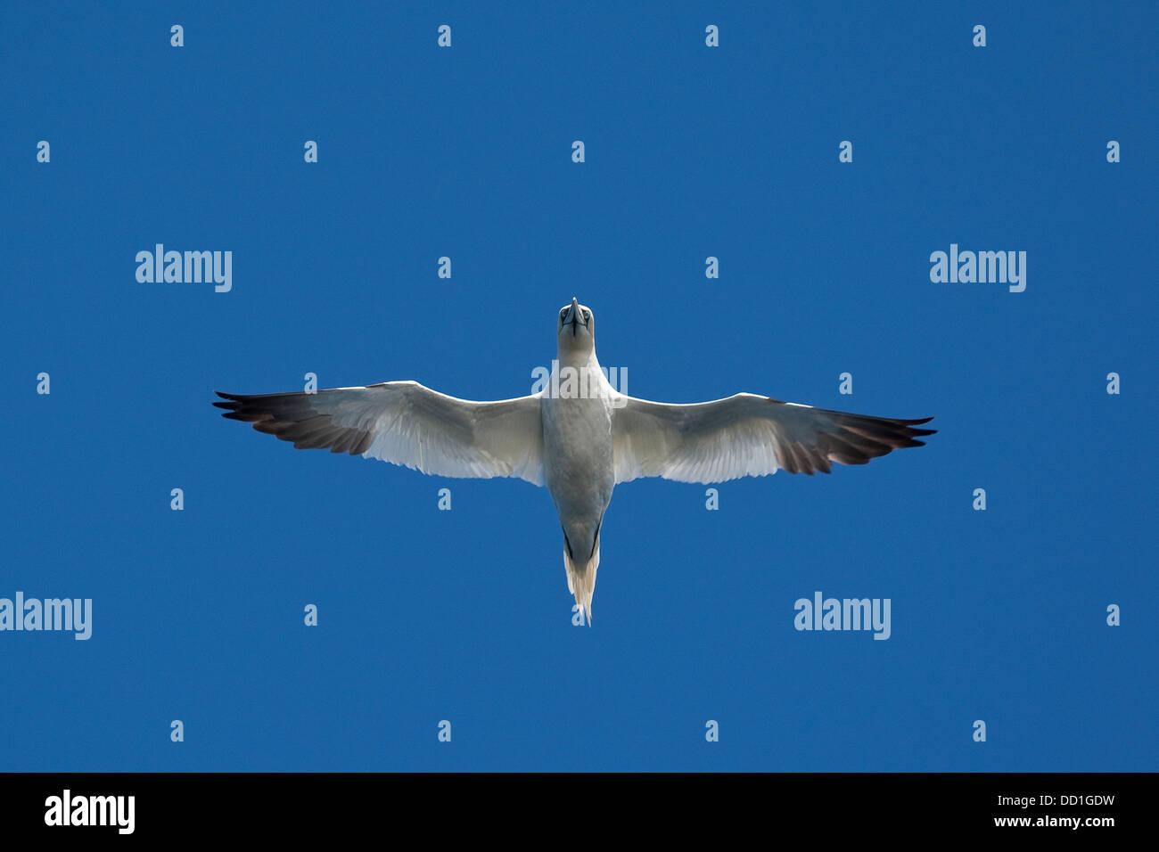 Northern gannet, flying, flight, Basstölpel, Baßtölpel, Flug, Flugbild, fliegend, Tölpel, Sula - Stock Image