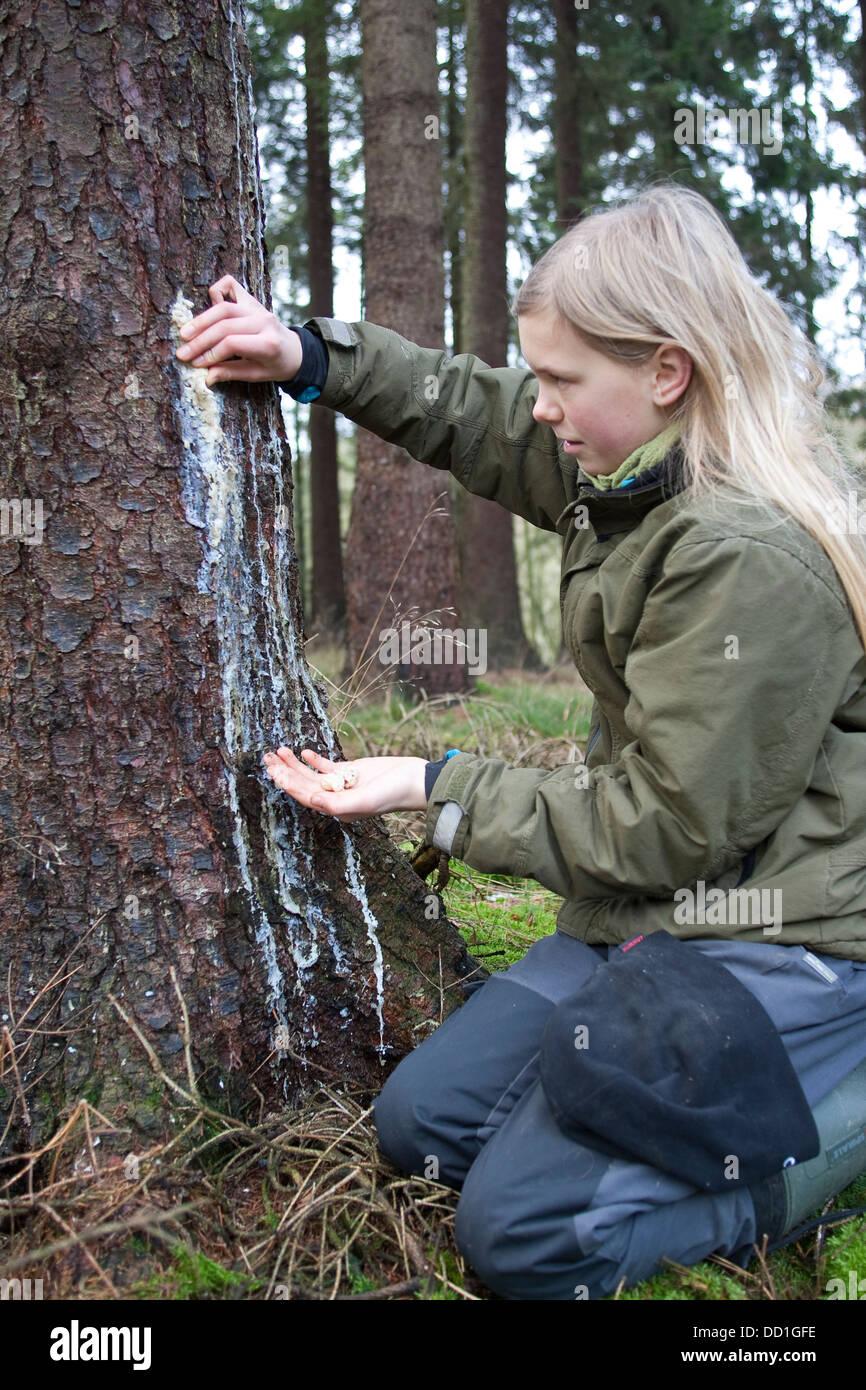 liquid pitch, tree gum, common spruce, Baumharz, Harz, Fichtenharz, Fichte, Rotfichte, Picea abies - Stock Image