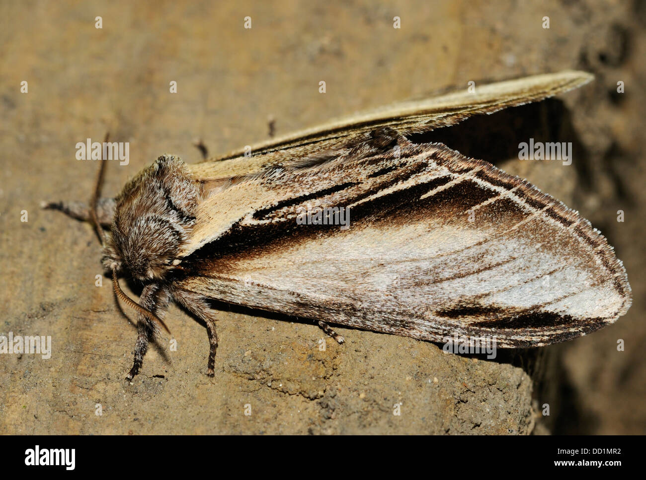 Swallow Prominent Moth - Pheosia tremula At rest - Stock Image