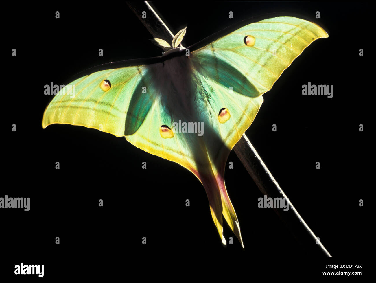 Indian Moon Moth, Actias selene, Asia - Stock Image