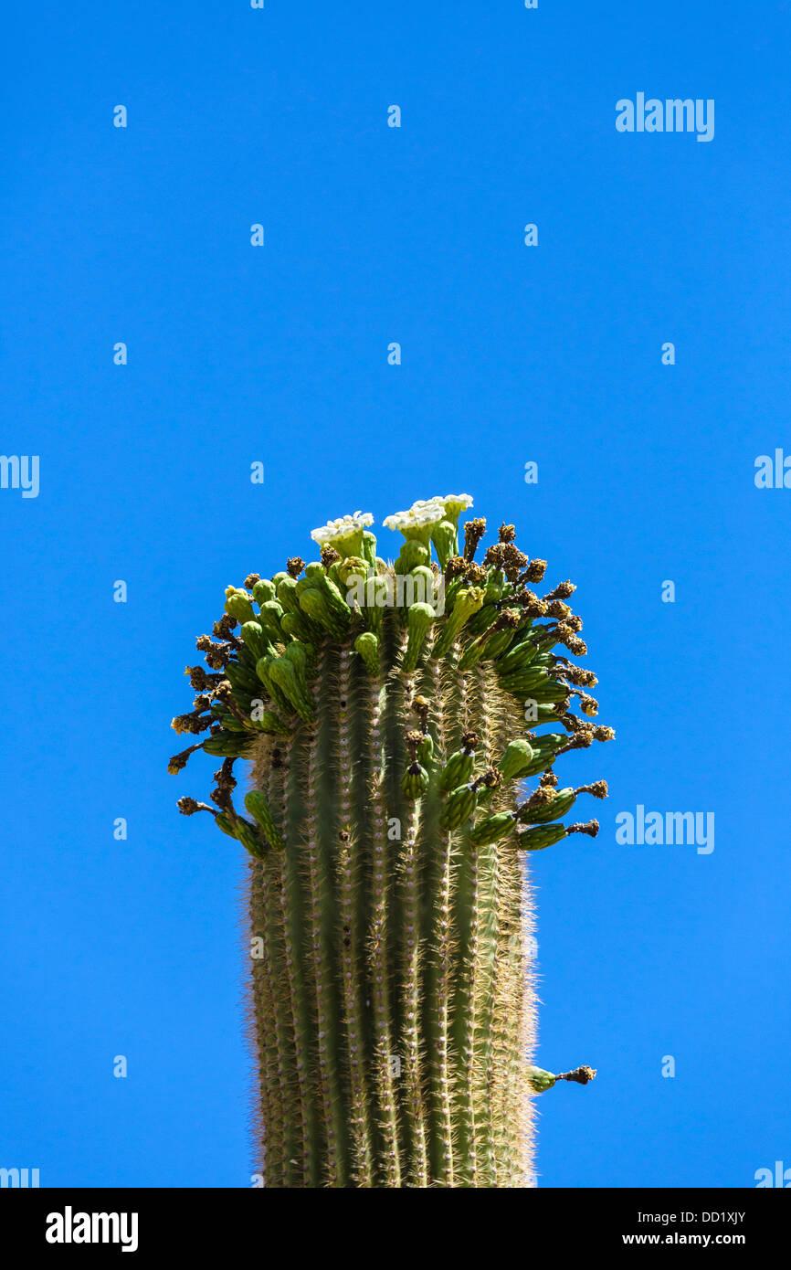 Flowering Saguaro cactus, Saguaro National Park West, Tucson, Arizona, USA - Stock Image