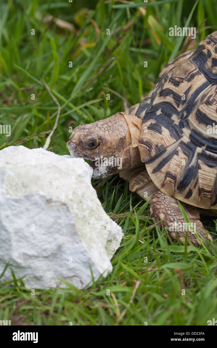 Leopard Tortoise (Geochelone pardalis). Biting, rasping, at a chunk of limestone, seeking calcium to add to its - Stock Image