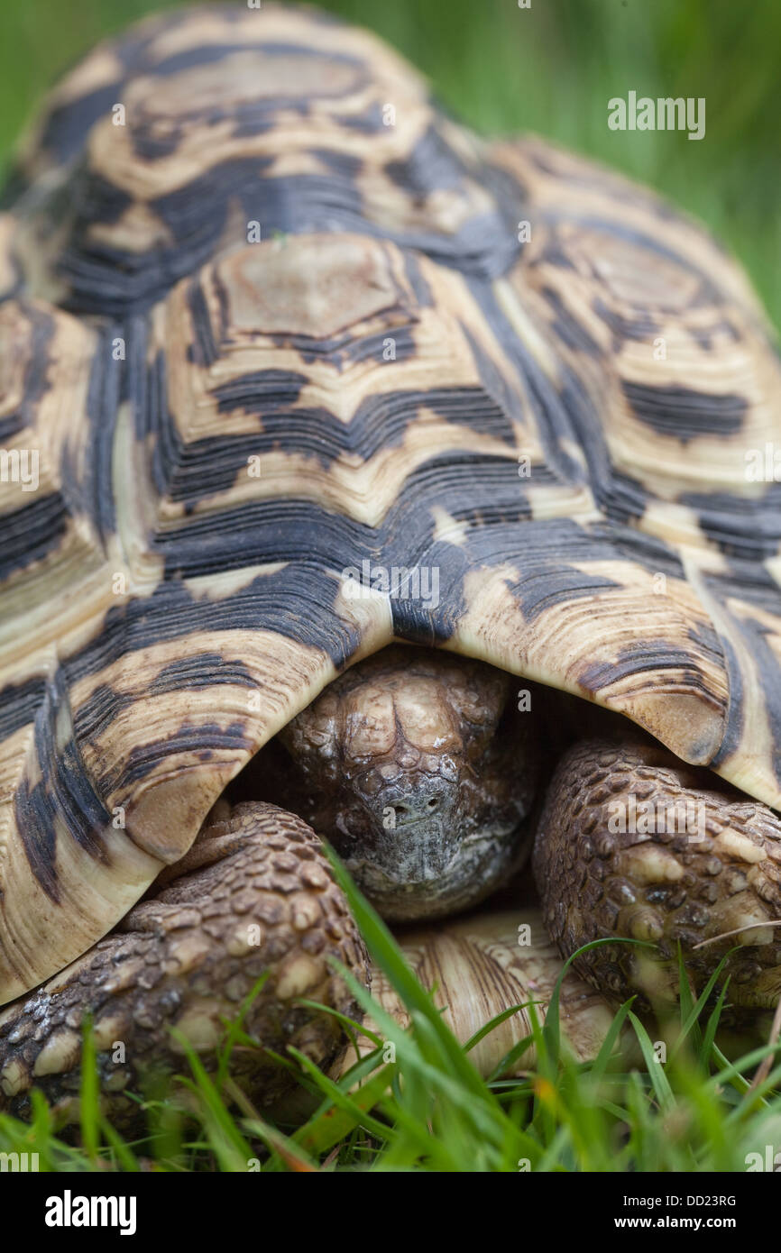 Leopard Tortoise (Geochelone pardalis). A species, and from a genus, which has no central front, or precentral, - Stock Image