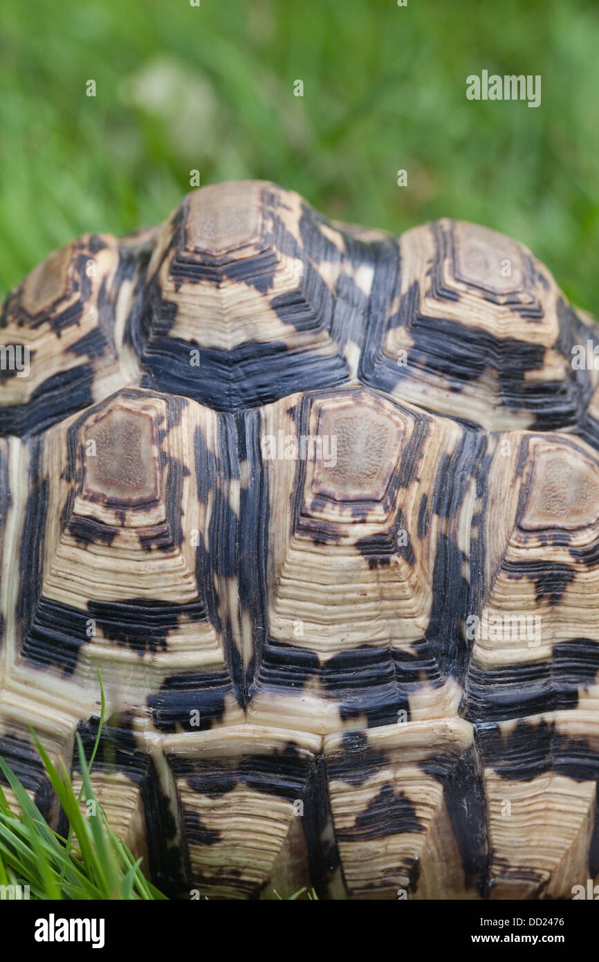 Leopard Tortoise (Geochelone pardalis). Shell, or carapace, in close-up. Showing distinctive markings of a younger - Stock Image