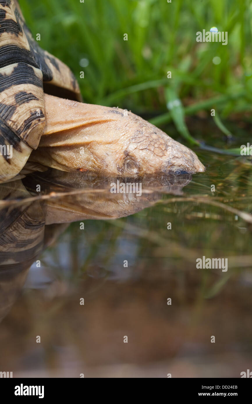 Leopard Tortoise (Geochelone pardalis). Drinking, head almost totally immersed. - Stock Image