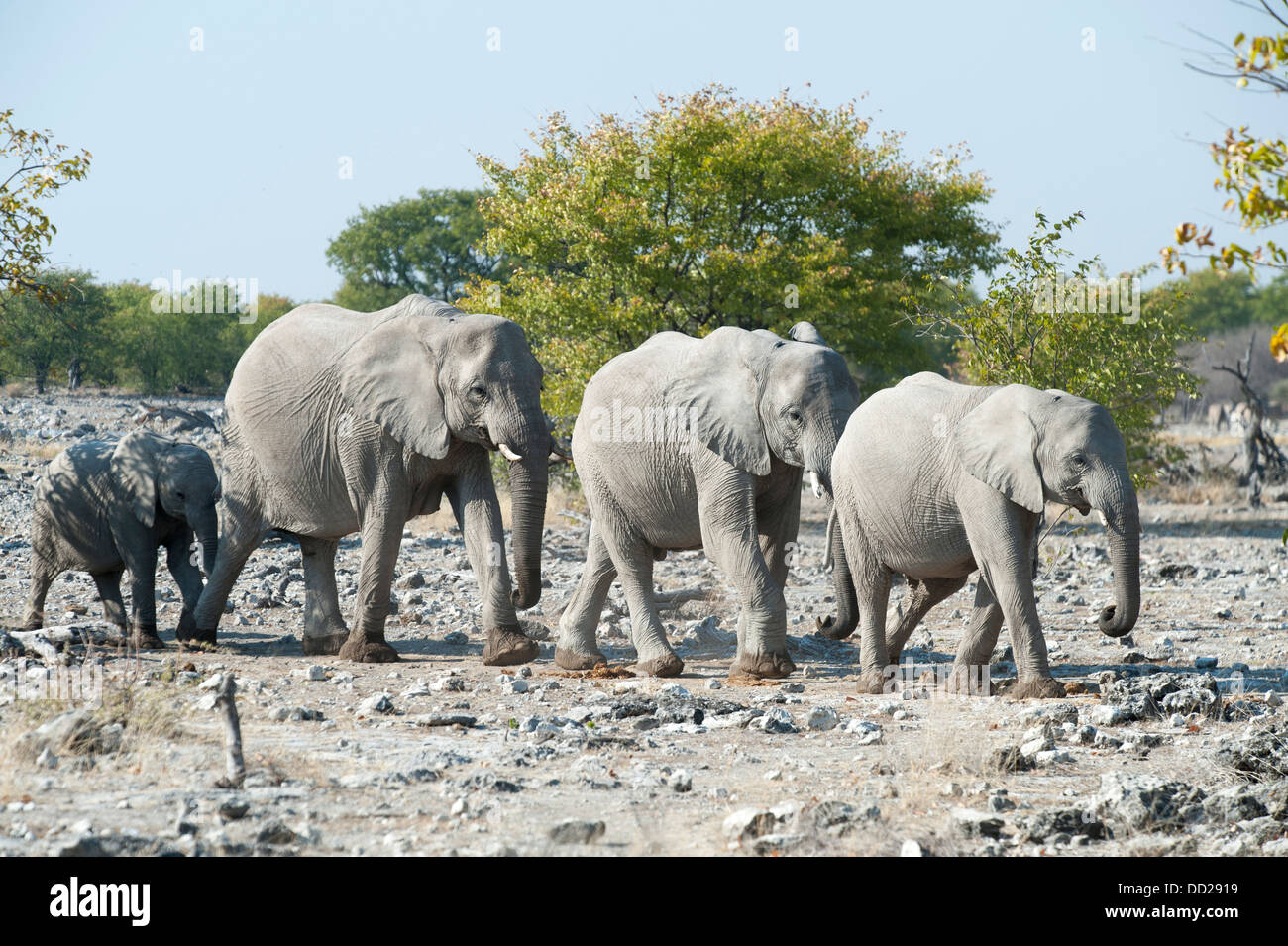 Elephant group (Loxodonta africana) walking in single file to a waterhole, Etosha Nationalpark, Namibia - Stock Image