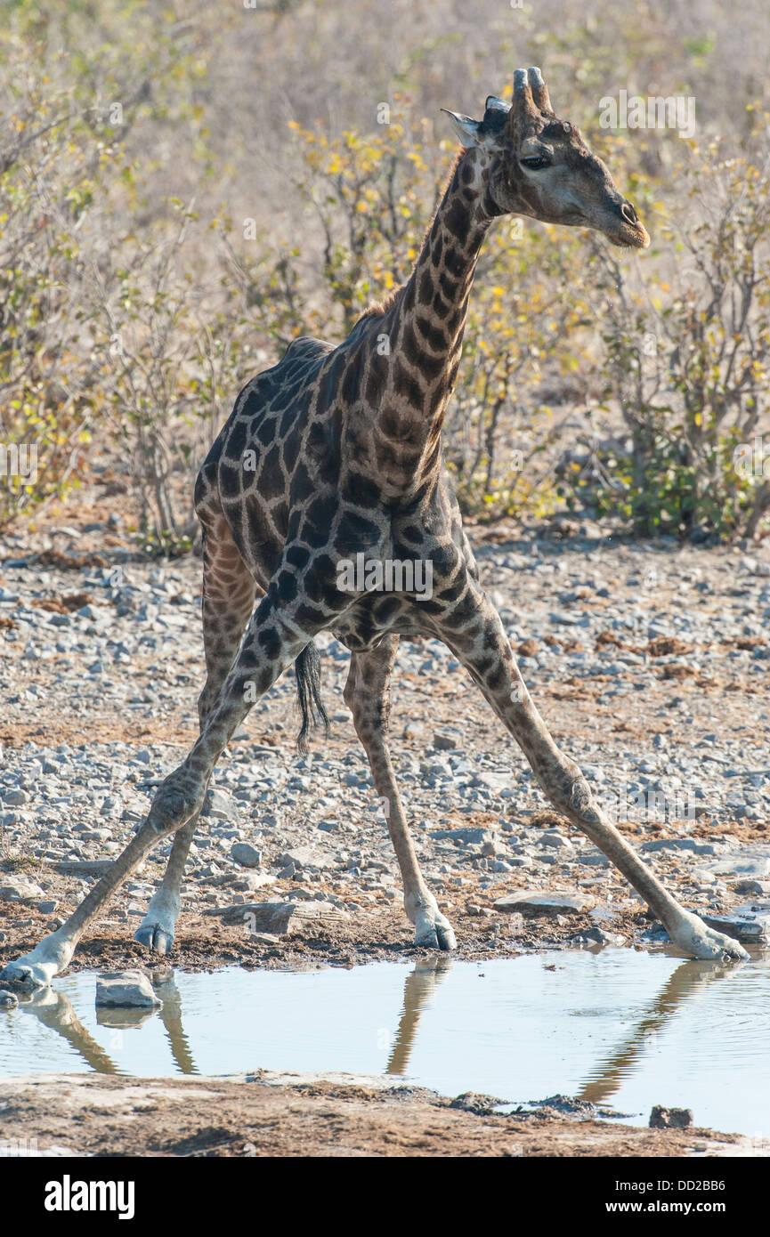 Giraffe (Giraffa camelopardalis) drinking at a waterhole, Etosha Nationalpark, Namibia - Stock Image
