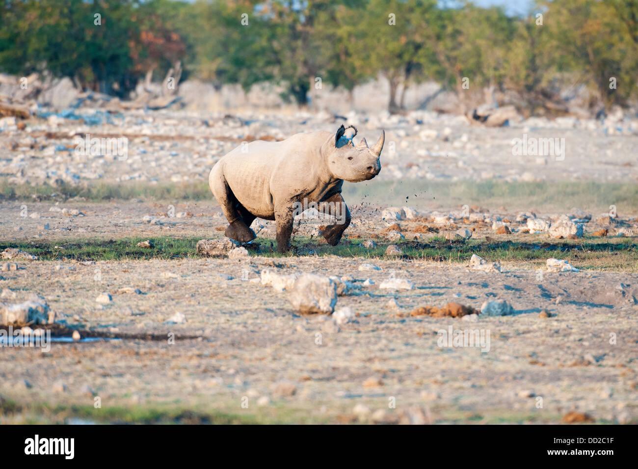 Black rhino (Diceros bicornis) running through mud at Rietfontein waterhole in Etosha Nationalpark, Namibia - Stock Image