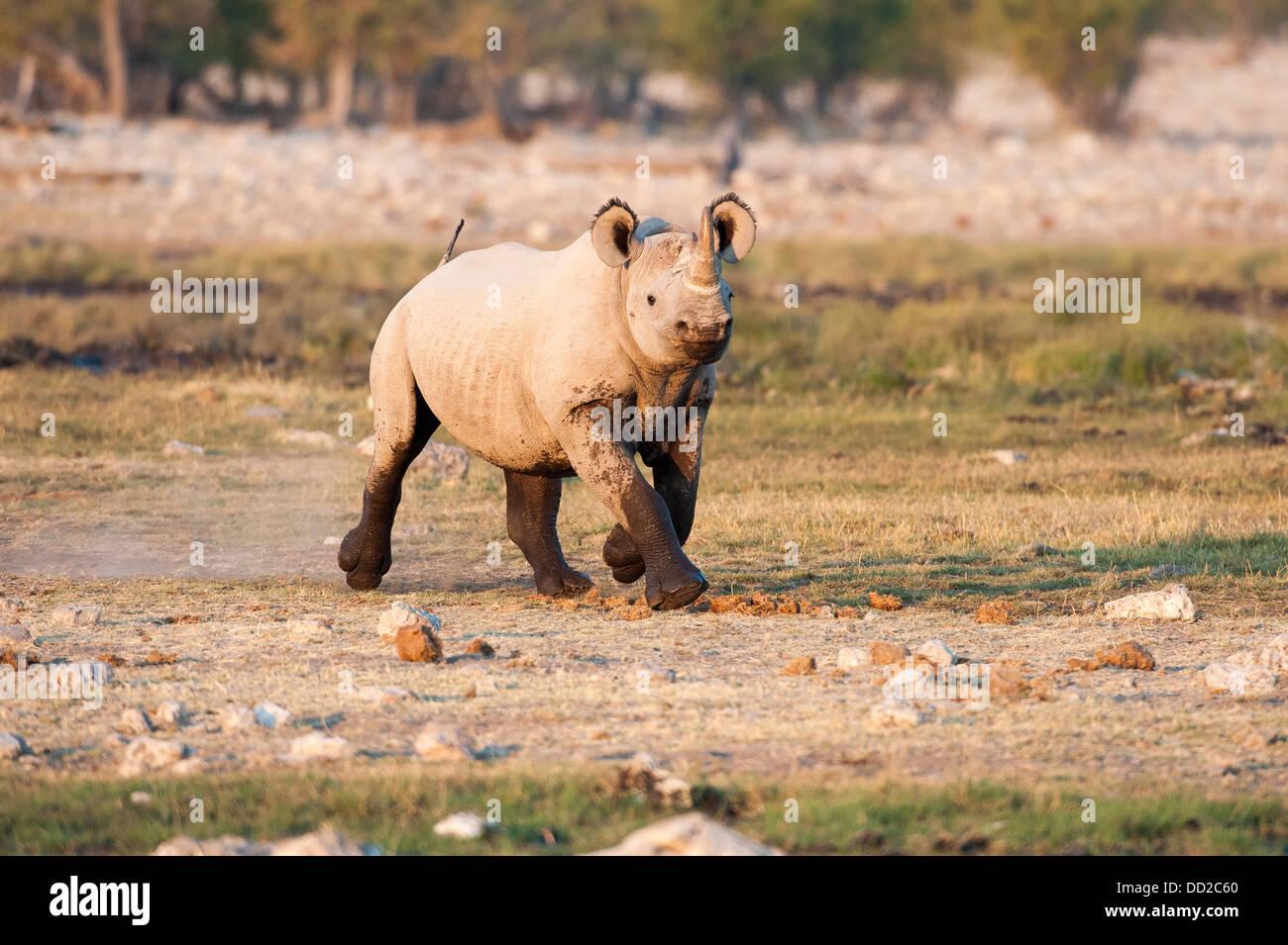 Black rhino (Diceros bicornis) charging, Rietfontein waterhole in Etosha Nationalpark, Namibia - Stock Image