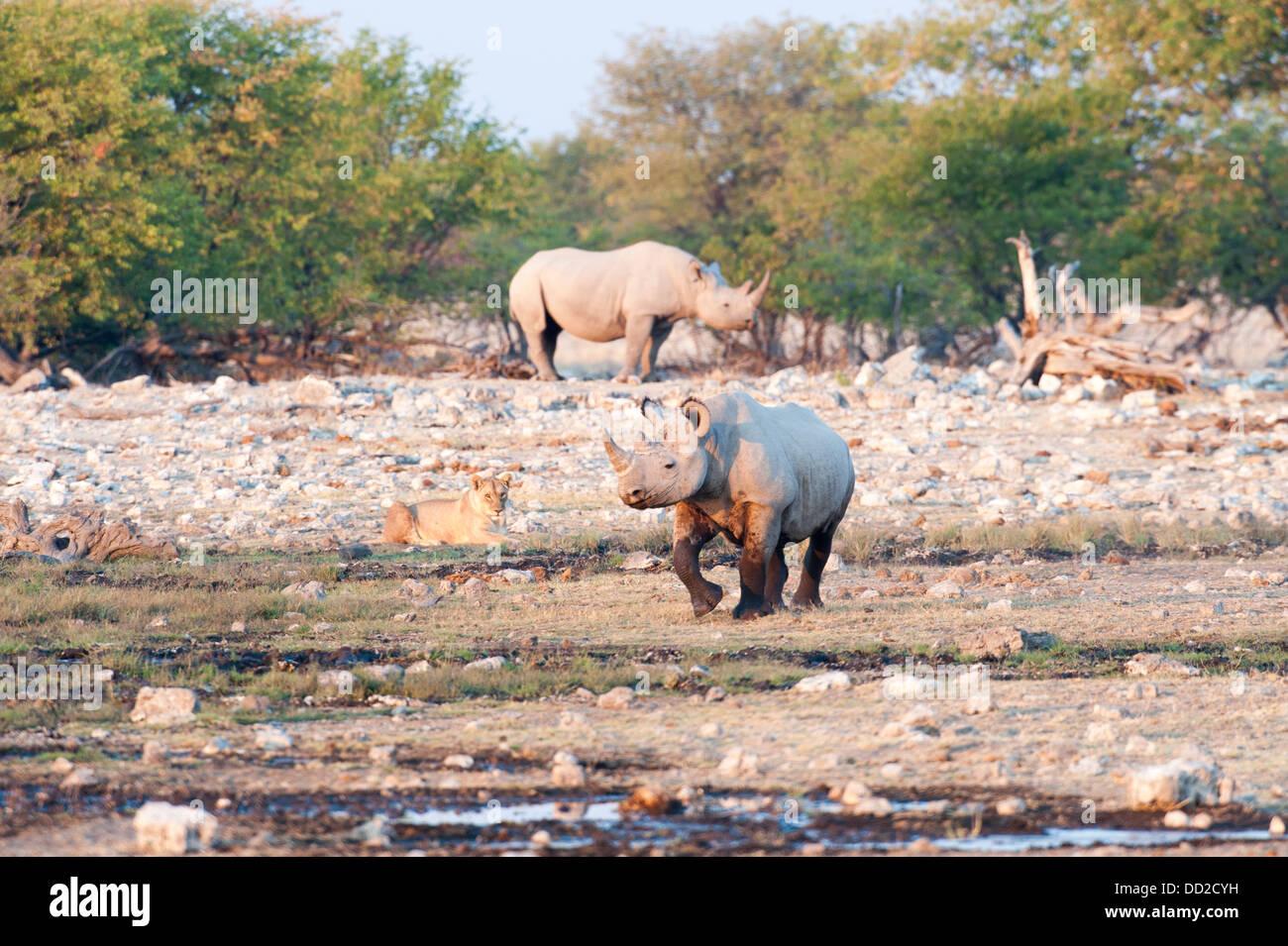 Two Black rhinos (Diceros bicornis) one running and a lioness (Panthera leo) watching,  Etosha Nationalpark, Namibia - Stock Image