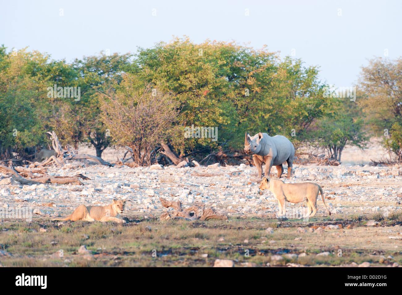 Black rhino (Diceros bicornis) and two a lionesses (Panthera leo), Rietfontein waterhole in Etosha Nationalpark, - Stock Image