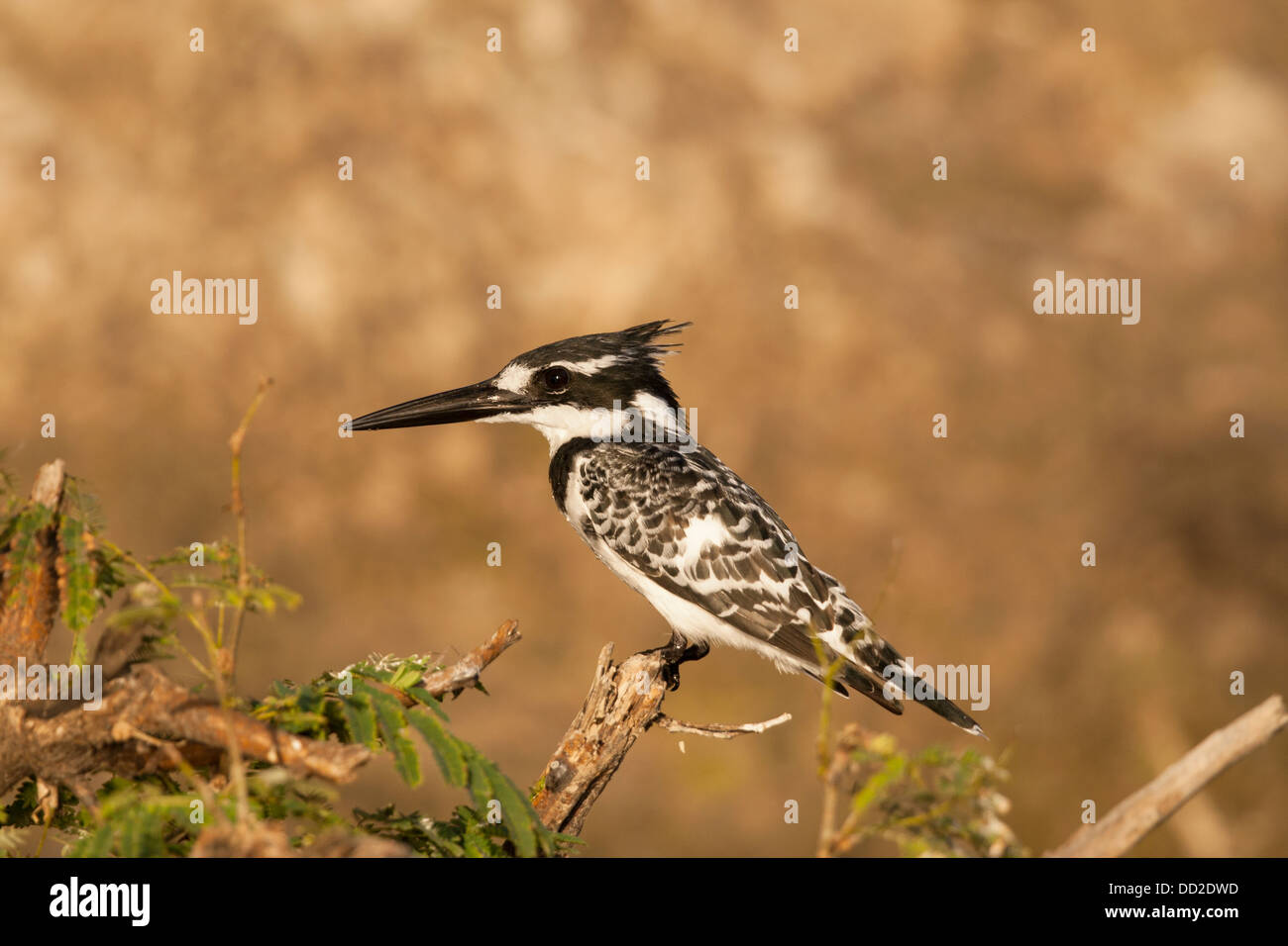 Close-up of a male Pied kingfisher in Botswana - Stock Image