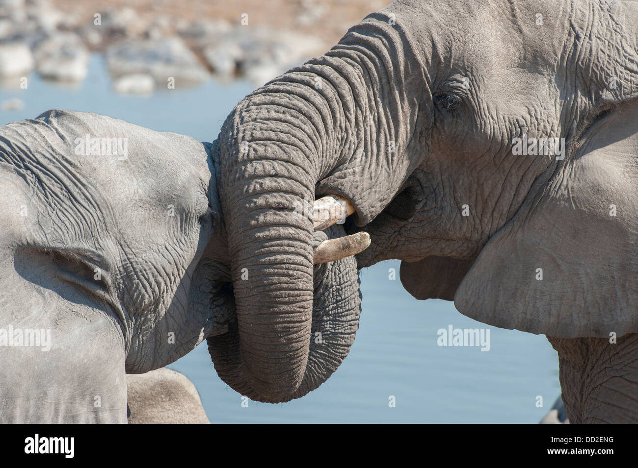 Portrait of two elephant (Loxodonta africana) socializing twisting trunks at Halali waterhole, Etosha Nationalpark, - Stock Image