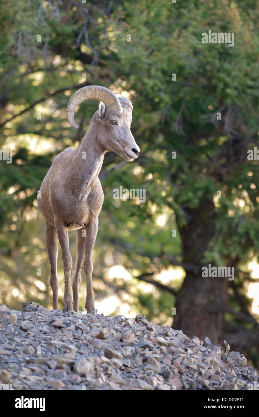 A large male Big Horn Sheep (Ovis canadensis) keeps a watchful eye on his harem from atop a large rock formation. - Stock Image