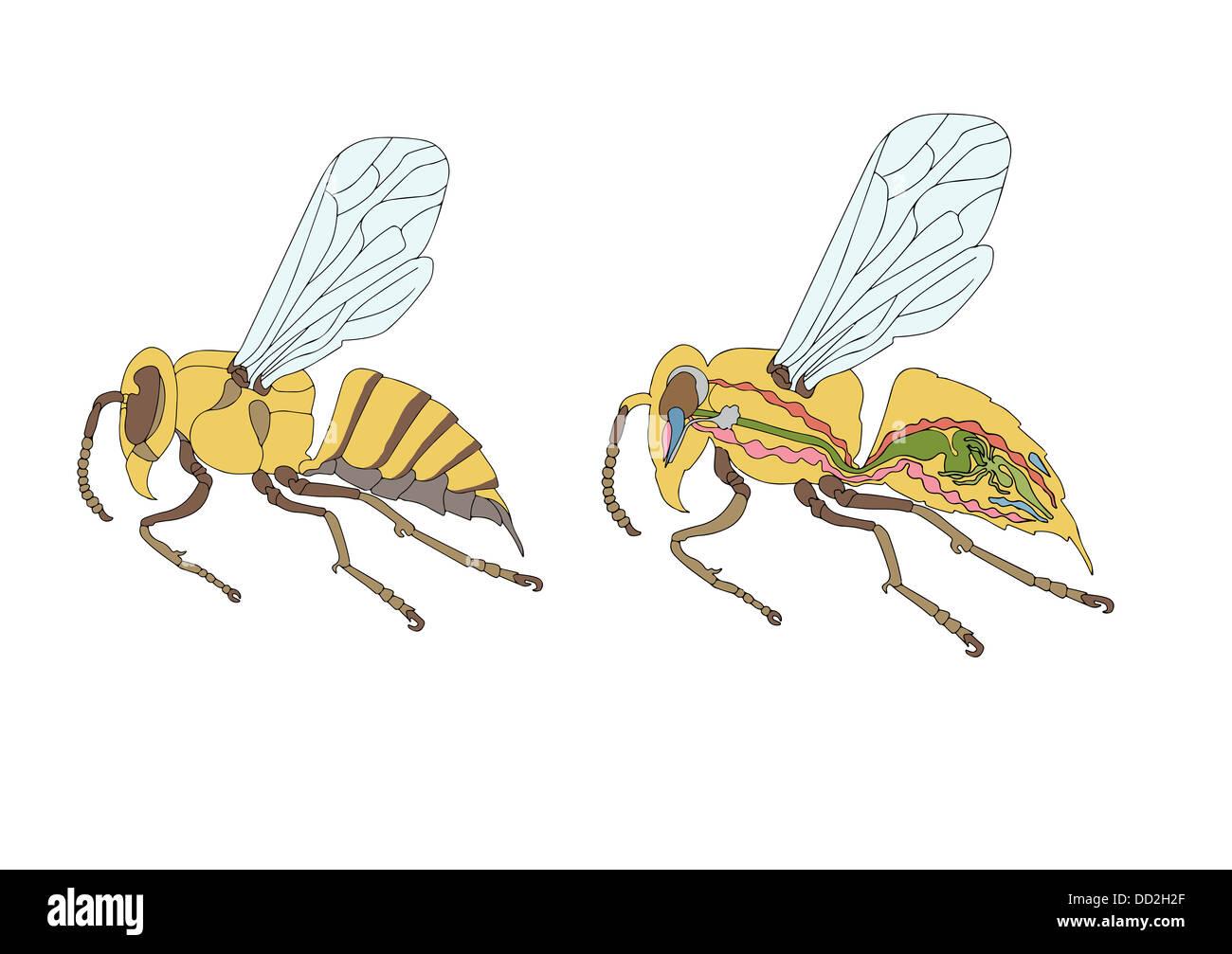 zoology, anatomy, morphology, cross-section of bee Stock Photo ...