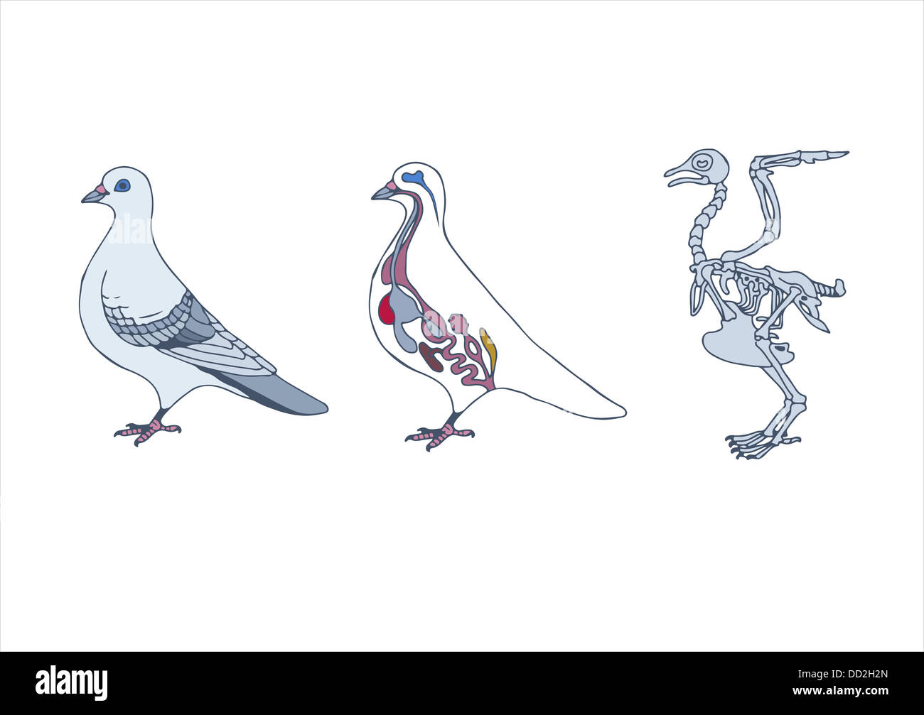 zoology, anatomy of bird, cross-section and skeleton Stock Photo ...
