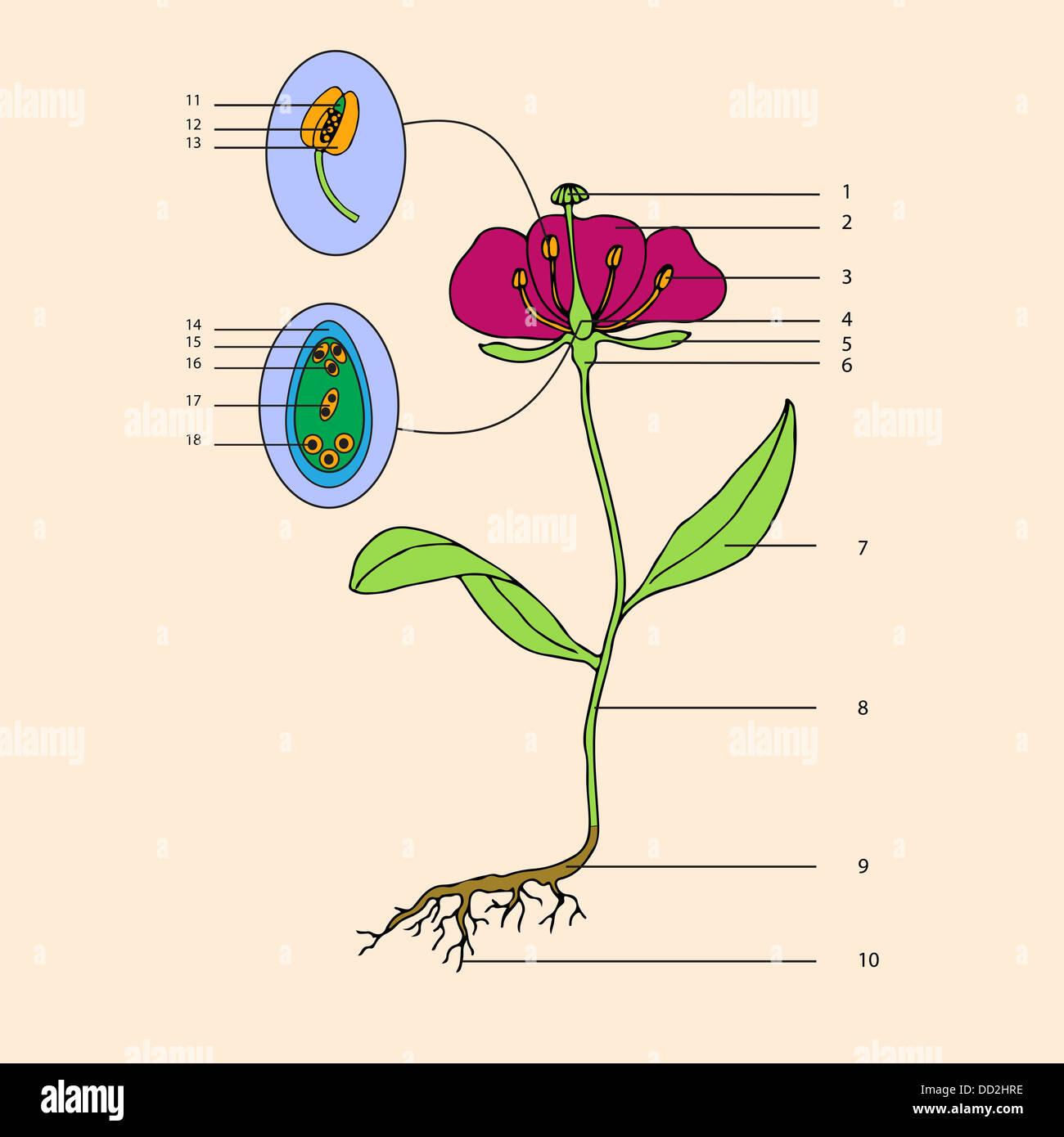 botanic, educational illustration - Stock Image