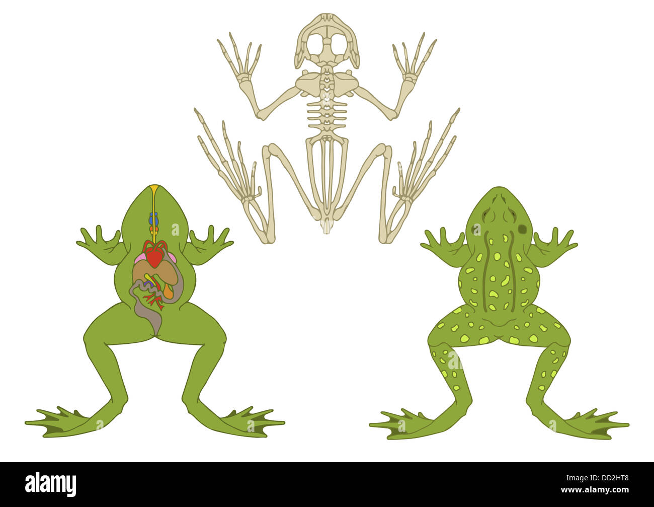 Frog Skeleton Stock Photos & Frog Skeleton Stock Images - Alamy
