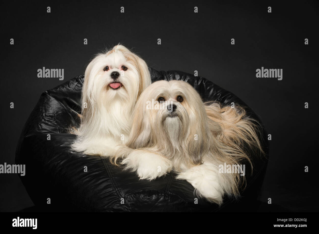 Two White Lhasa Apso's On A Black Beanbag Chair; St. Albert, Alberta, Canada - Stock Image