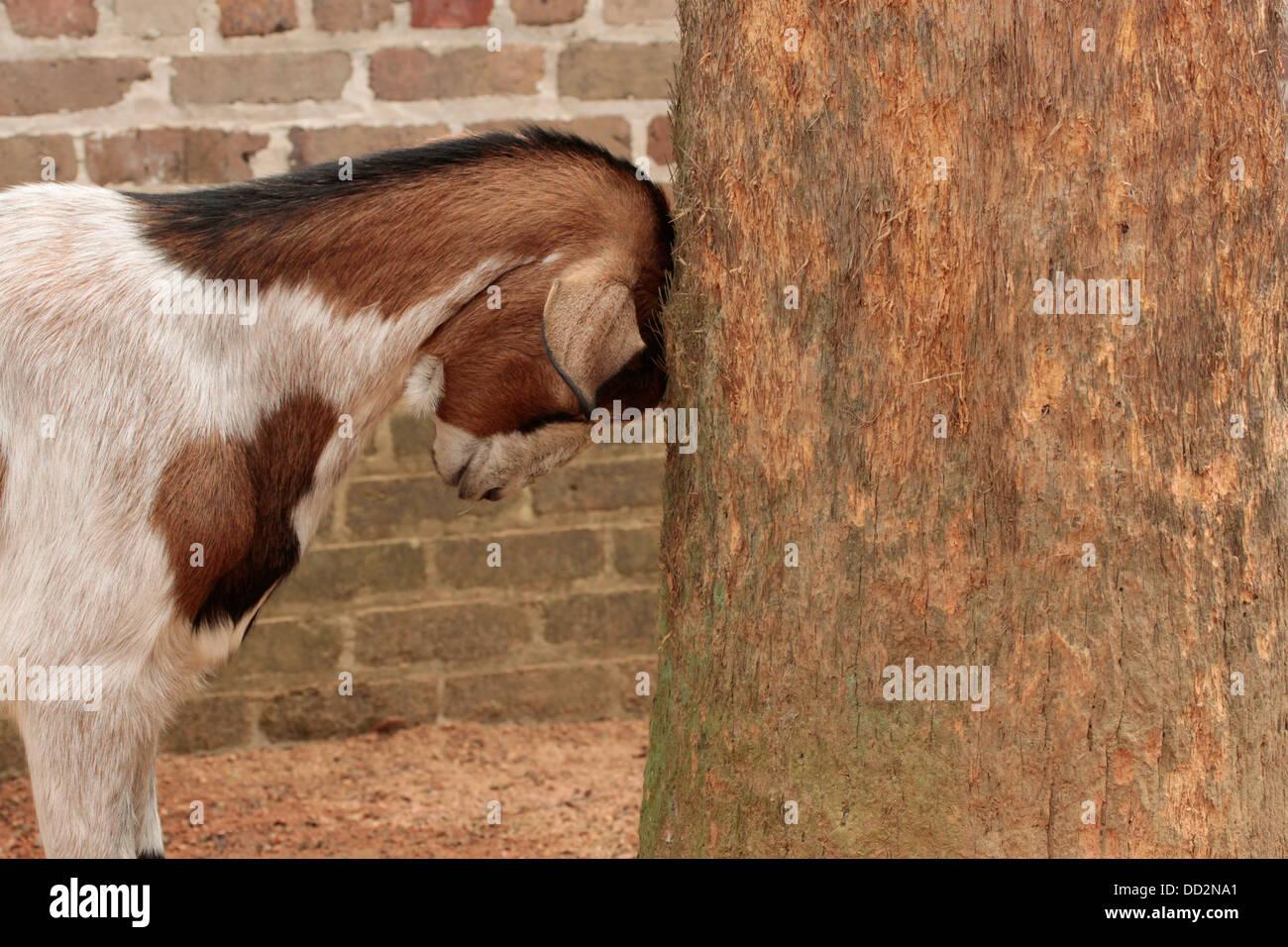 Goat Butting Stock Photos Images